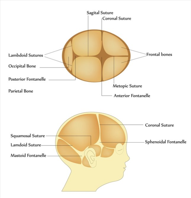 An illustration shows the location of the four fontanelles, along with the sutures in the skull