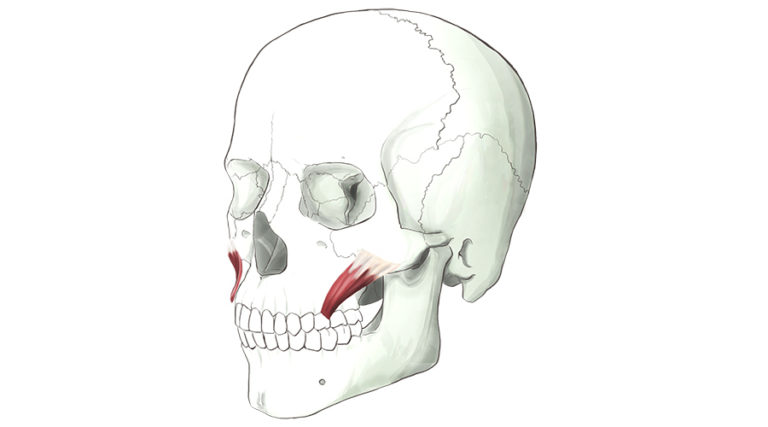 Zygomatic Minor. One of a pair of strap muscles that inserts into the upper lip