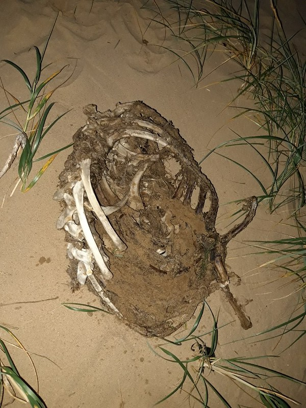 Decomposed and partially skeletonised animal rib cage found on a beach