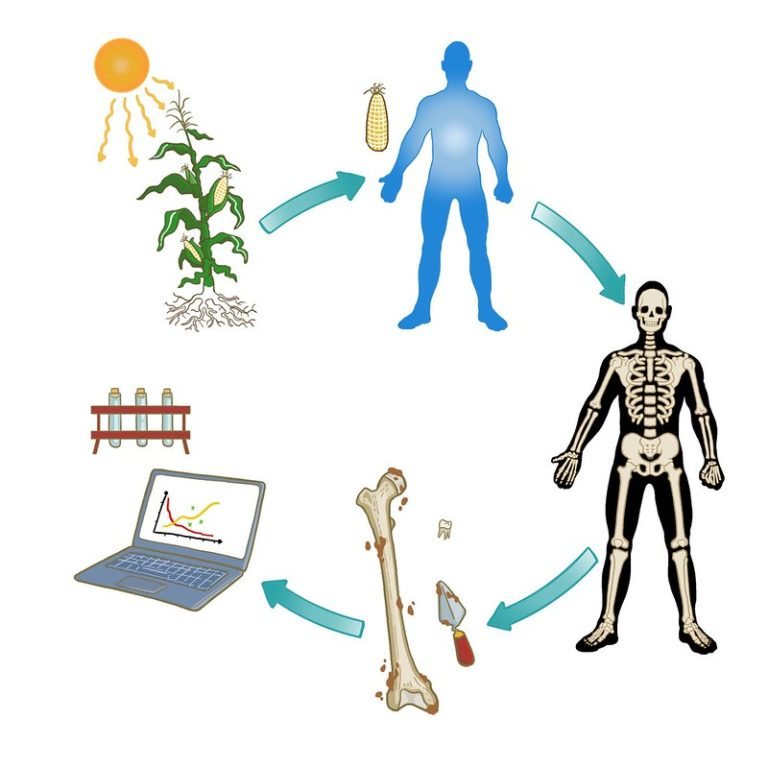 Diagram showing a human taking up Carbon during his/her lifetime from food and water and then the radiocarbon decay measured after death