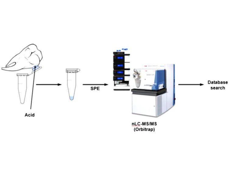 A schematic showing the process of acid etching the teeth and then analysing the sample in a mass spectrometer