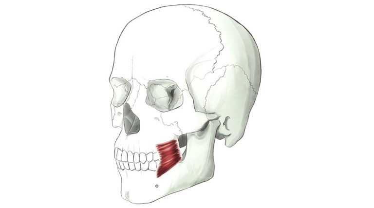 Buccinator. A thin muscle located on the inside of the cheek