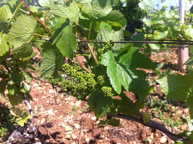 A close up photo of young grape vines growing in a field