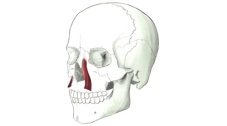 Levator Labii Superioris Alaeque Nasi. This muscle runs along the side of the nose, dilating the nostril