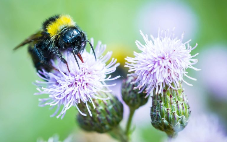 Bumblebee on thistle flower