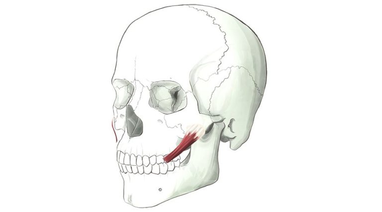 Zygomatic Major. One of a pair of strap muscles that inserts into the upper lip
