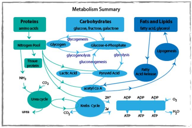 Metabolism summary diagram