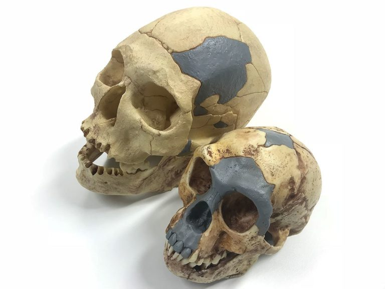 Comparing *H. floresiensis* with a *H. sapiens* skull