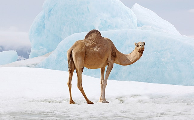 On a job swap: a camel in the acrtic