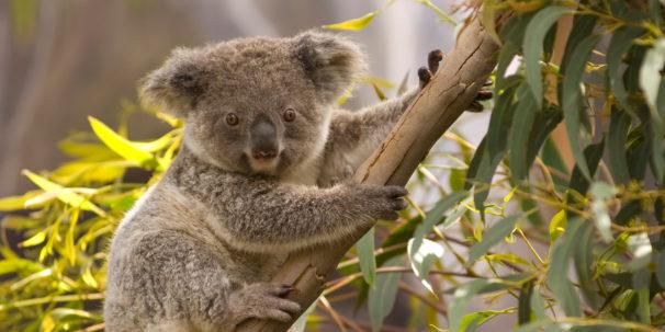A Koala - One of Australia's Unique Animals